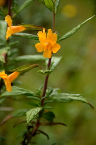 sticky monkey flower