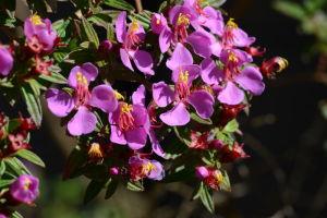 Tibouchina Flowers in San Francisco's Botanical Garden in Golden Gate Park